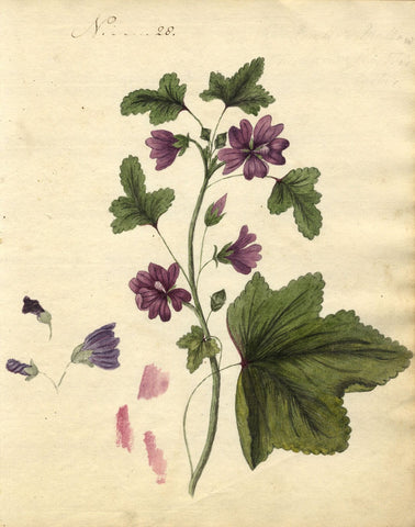 Charlotte Metcalfe, Common Mallow Flower - Original 1818 watercolour painting