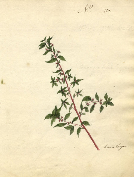 Charlotte Metcalfe, Little-Leaf Sage Flower - Original 1818 watercolour painting