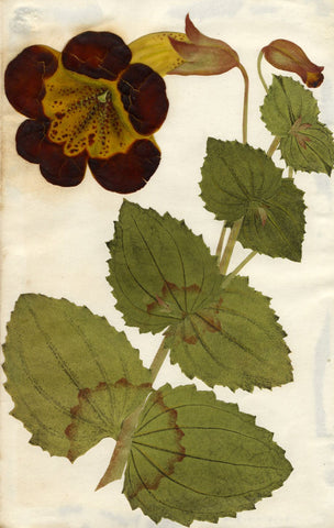Circle of Mary Delany, Monkey Flower - Original 1840s plant collage