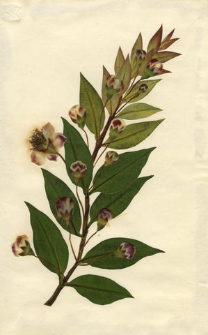 Circle of Mary Delany, Shining Myrtle Flower - Original 1840s plant collage