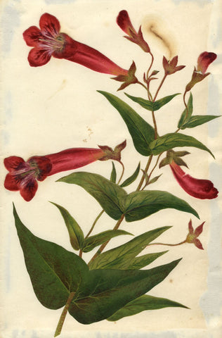 Circle of Mary Delany, Penstemon Flower - Original 1840s plant collage