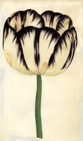 Circle of Mary Delany, Striped Tulip Flower - Original 1840s plant collage