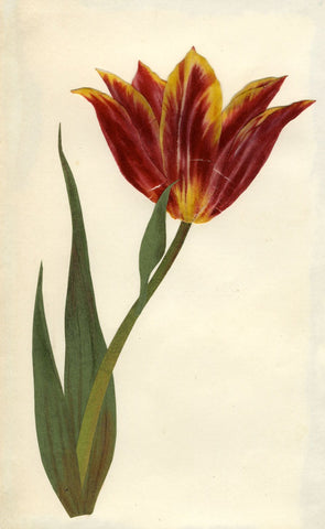 Circle of Mary Delany, Red & Yellow Tulip Flower - Original 1840s plant collage