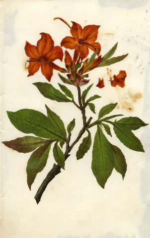 Circle of Mary Delany, Orange Azalea Flower - Original 1840s plant collage