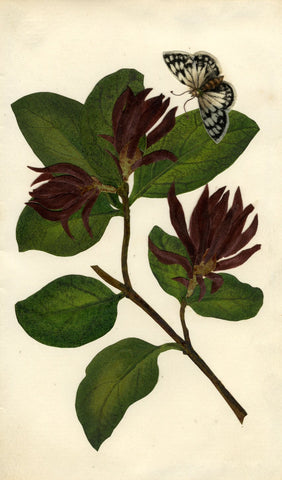 Circle of Mary Delany, Carolina Allspice Flower & Moth - 1840s plant collage