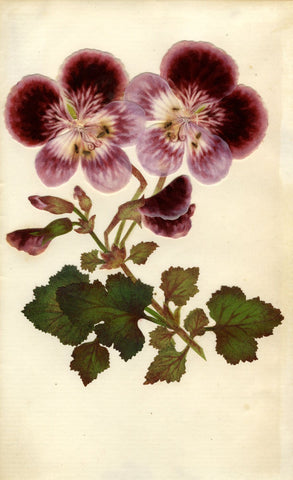 Circle of Mary Delany, Geranium Flower - Original 1840s plant collage