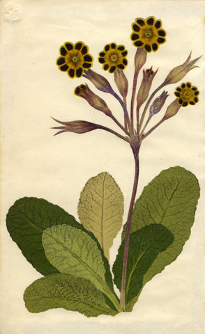 Circle of Mary Delany, Victorian Laced Primrose Flower - 1840s plant collage
