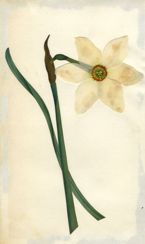 Circle of Mary Delany, Daffodil Narcissus Flower - Original 1840s plant collage