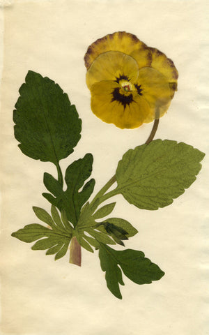 Circle of Mary Delany, Yellow Pansy Flower - Original 1840s plant collage