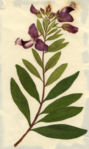 Circle of Mary Delany, Sweet-Pea Flower Shrub - Original 1840s plant collage