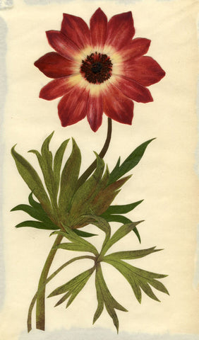Circle of Mary Delany, Broad-Leaved Anemone Flower -Original 1840s plant collage