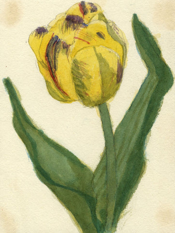 Gertrude Robinson, Yellow Tulip Flower - Original 1875 watercolour painting