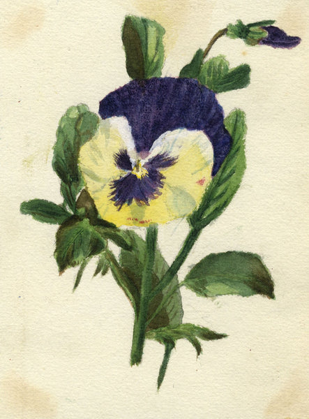 Mildred Robinson, Purple Pansy Flower - Original 1875 watercolour painting