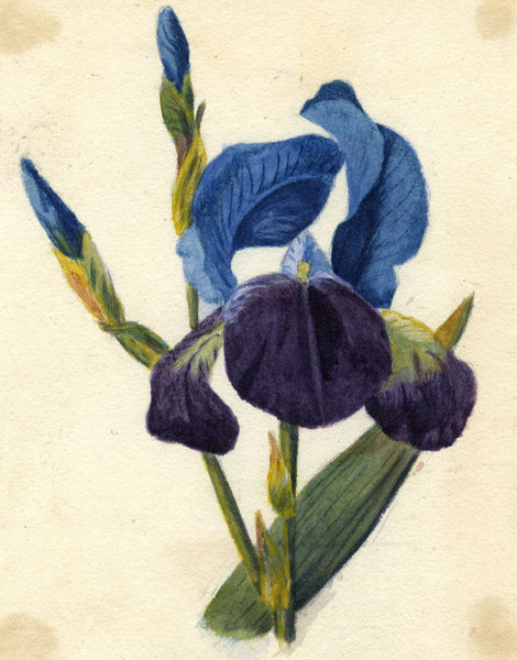 Blue Iris Flower - Original c.1875 watercolour painting