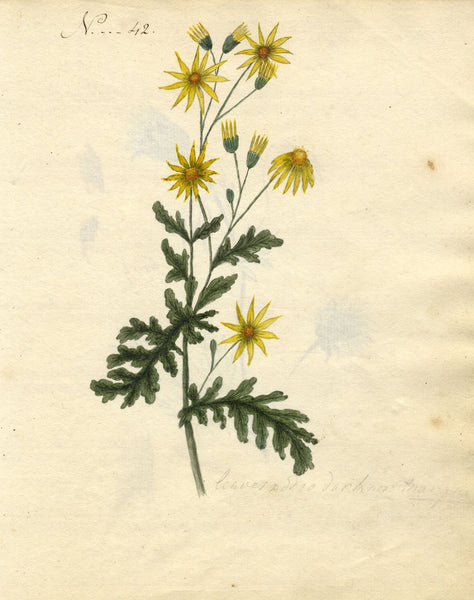 Charlotte Metcalfe, Common Ragwort Flower - Original 1818 watercolour painting