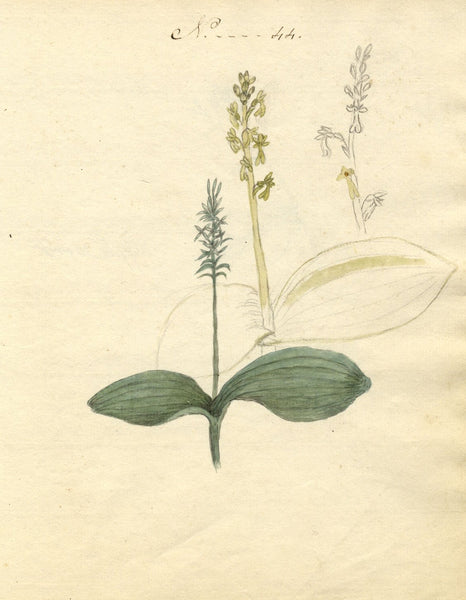Charlotte Metcalfe, Twayblade Orchid Flower - Original 1818 watercolour painting