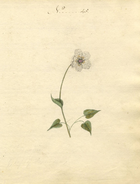 Charlotte Metcalfe, Grass of Parnassus Flower - 1818 watercolour painting