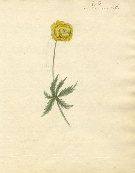 Charlotte Metcalfe, Trollius Globe Flower - Original 1818 watercolour painting