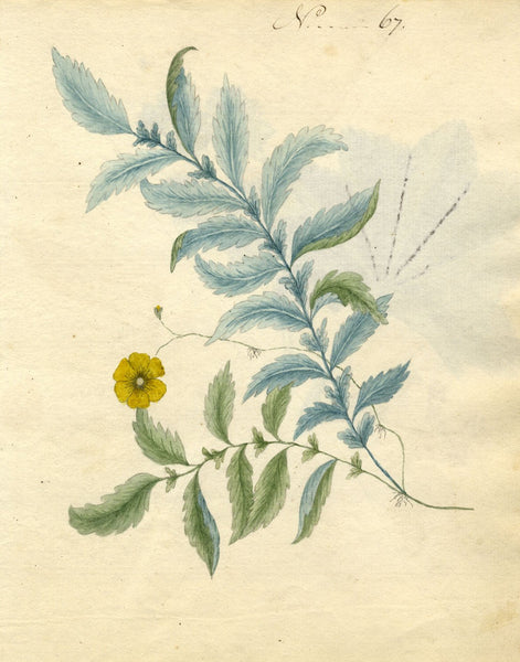 Charlotte Metcalfe, Silverweed Flower - Original 1818 watercolour painting