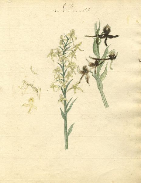 Charlotte Metcalfe, Greater Butterfly Orchid -Original 1818 watercolour painting