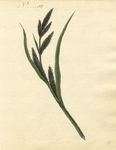 Charlotte Metcalfe, Square Twig Rush Flower - Original 1818 watercolour painting