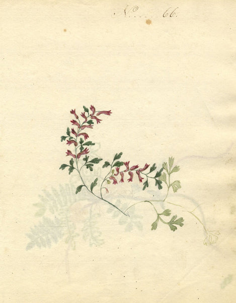 Charlotte Metcalfe, Common Fumitory Flower - Original 1818 watercolour painting