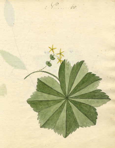 Charlotte Metcalfe, Lady's Mantle Flower - Original 1818 watercolour painting