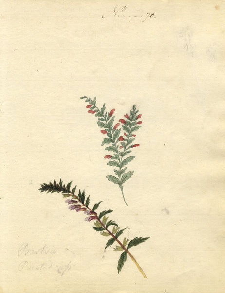 Charlotte Metcalfe, Red Eyebright Flower - Original 1818 watercolour painting