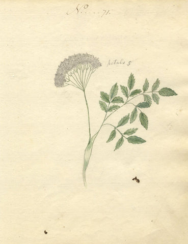 Charlotte Metcalfe, Angelica Flower - Original 1818 watercolour painting