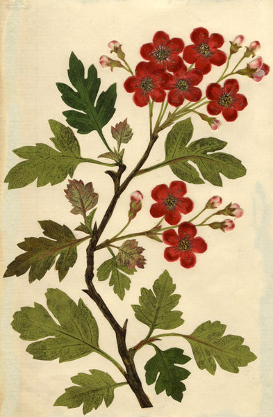 Circle of Mary Delany, Grignon Hawthorn 'Crataegus' Flower - 1840s plant collage