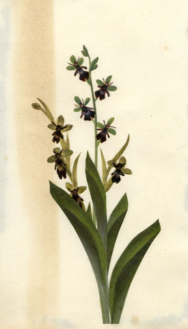 Circle of Mary Delany, Purple Orchid Flowers - Original 1840s plant collage