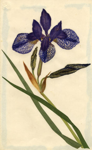 Circle of Mary Delany, Purple Iris Flower - Original 1840s plant collage