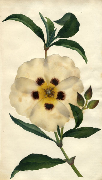 Circle of Mary Delany, Gum Rockrose Flower - Original 1840s plant collage