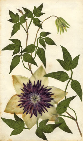Circle of Mary Delany, Passion Flower Passiflora - 1840s plant collage
