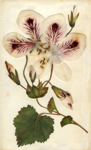 Circle of Mary Delany, Geranium Cuthbertson's Reformer - 1840s plant collage