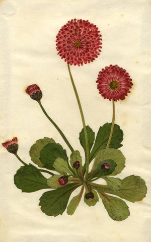 Circle of Mary Delany, Bellis Perennis Daisy Flower - 1840s plant collage