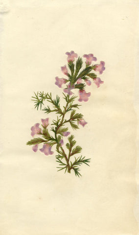 Circle of Mary Delany, Erica Heather Flower - Original 1840s plant collage