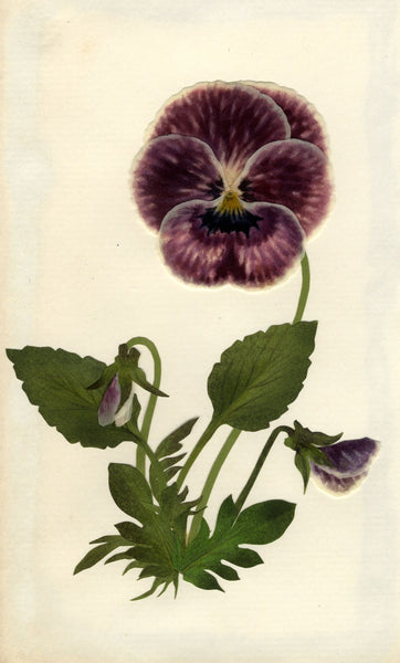 Circle of Mary Delany, Purple Pansy Mars Flower - Original 1840s plant collage