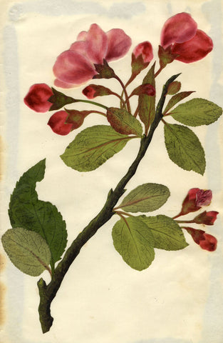 Circle of Mary Delany, Chinese Apple Tree Blossom - Original 1840s plant collage