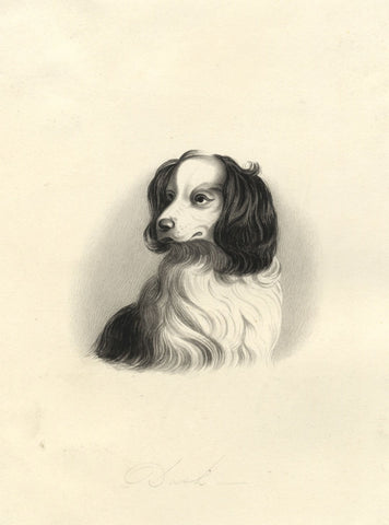 Dash Queen Victoria's King Charles Spaniel - 19th-century watercolour painting