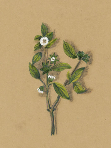 Elizabeth A. Thomas, Wild Daisy Flower, India - 1880 watercolour pencil painting