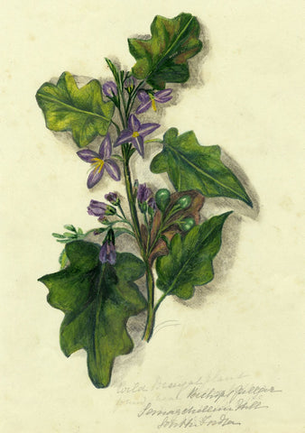 Elizabeth A. Thomas, Wild Brinjal Flower, India - 1880s watercolour painting