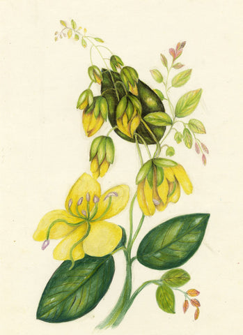 Elizabeth A. Thomas, Laburnum Flower, India - 1876 watercolour pencil painting