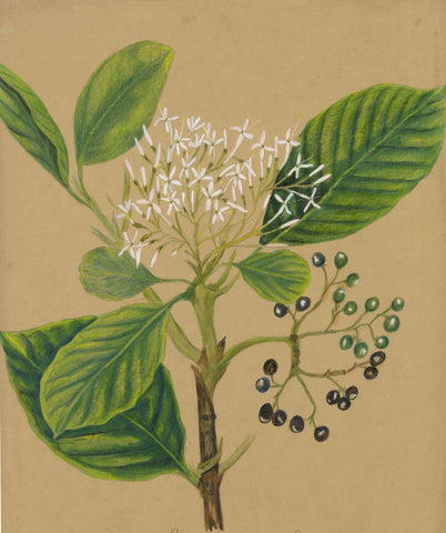 Elizabeth A. Thomas, Osmanthus Flower & Berries India -1880 watercolour painting