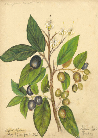 Elizabeth A. Thomas, Gooseberry Flower, India - 1876 watercolour pencil painting