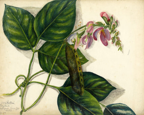 Elizabeth A. Thomas, Sweet Pea Flower, India - 1875 watercolour pencil painting