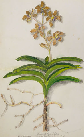 Elizabeth A. Thomas, Orchid Flower, India - 1880 watercolour pencil painting