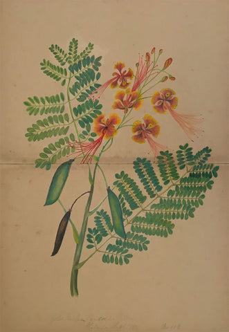 Elizabeth A. Thomas, Peacock Flower, India - 1880 watercolour pencil painting
