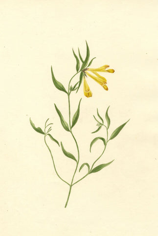 Brada Hulton, Cow-wheat Flower - Late 19th-century watercolour painting