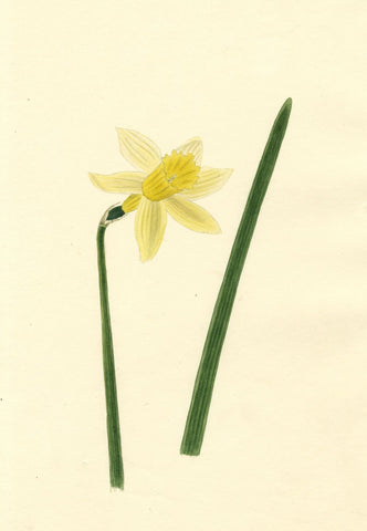 Brada Hulton, Daffodil Narcissus Flower - Late 19th-century watercolour painting